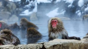 Japanese Monkey In Natural Onsen