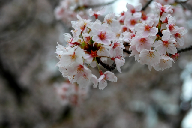sakura under rain