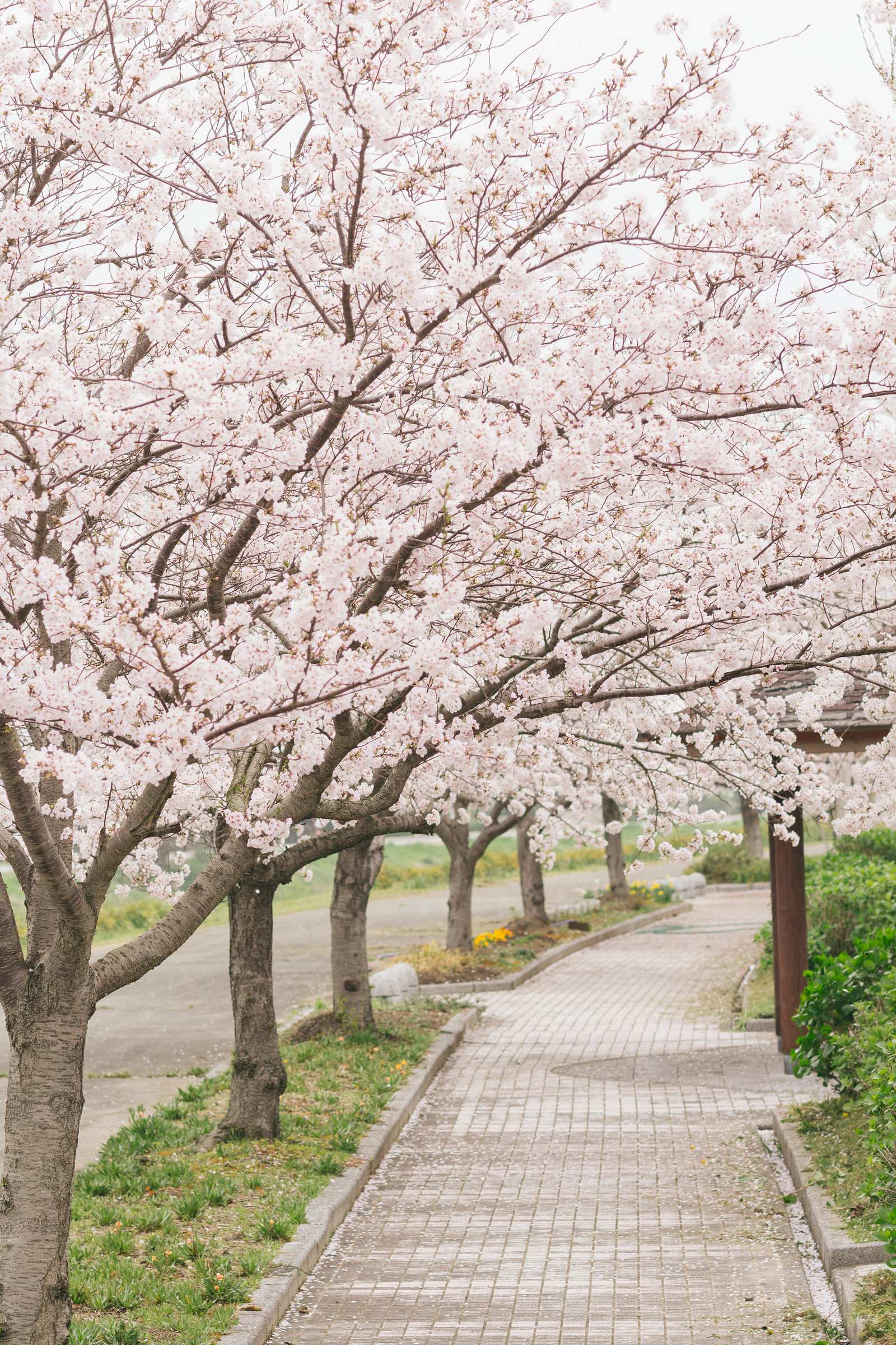 WALKING THROUGH A FIELD OF CHERRY BLOSSOM TREES