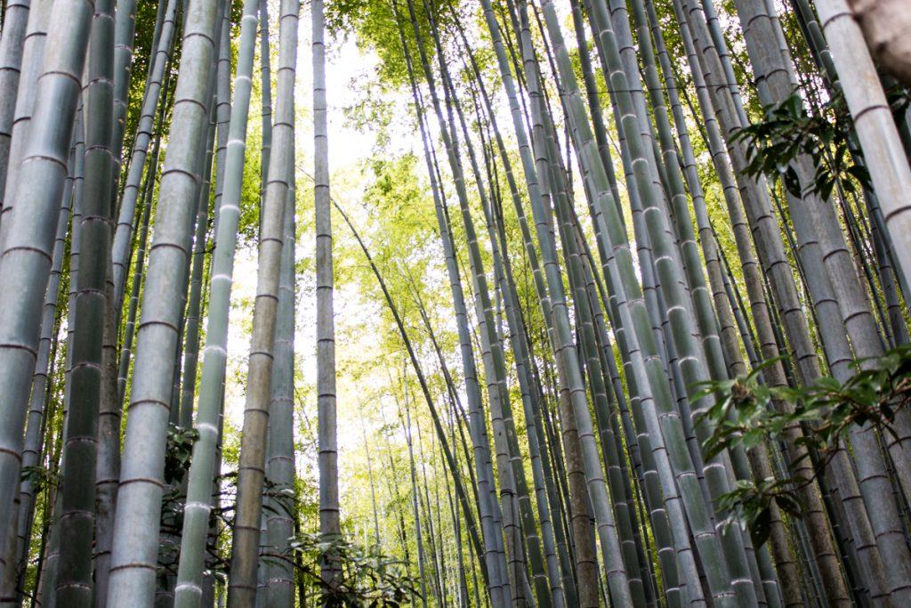 bamboo forest in hokokuji in kamakura