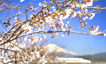 What Is Hanami and How to Plan the Best Sakura Viewing