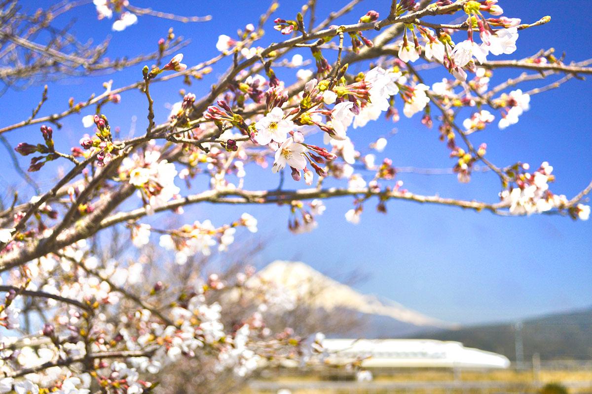 Sakura hanami in Japan