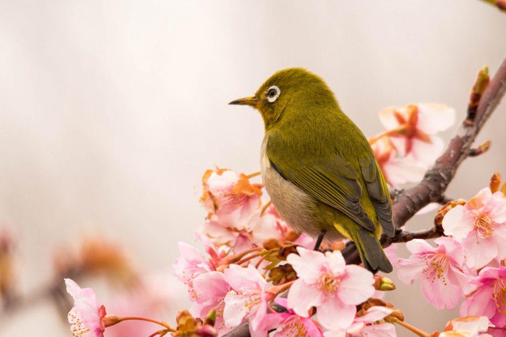 sakura with a bird