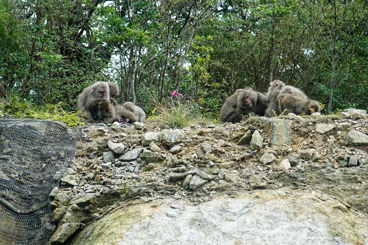Yaku-Monkeys seen on the road to Shiratani Unsuikyo Ravine