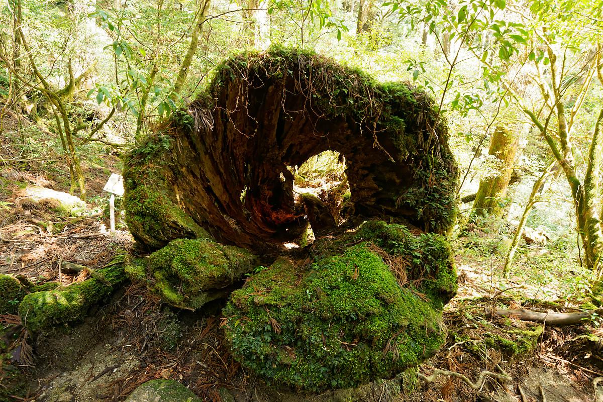Hollow trunk in Yakusugi Land