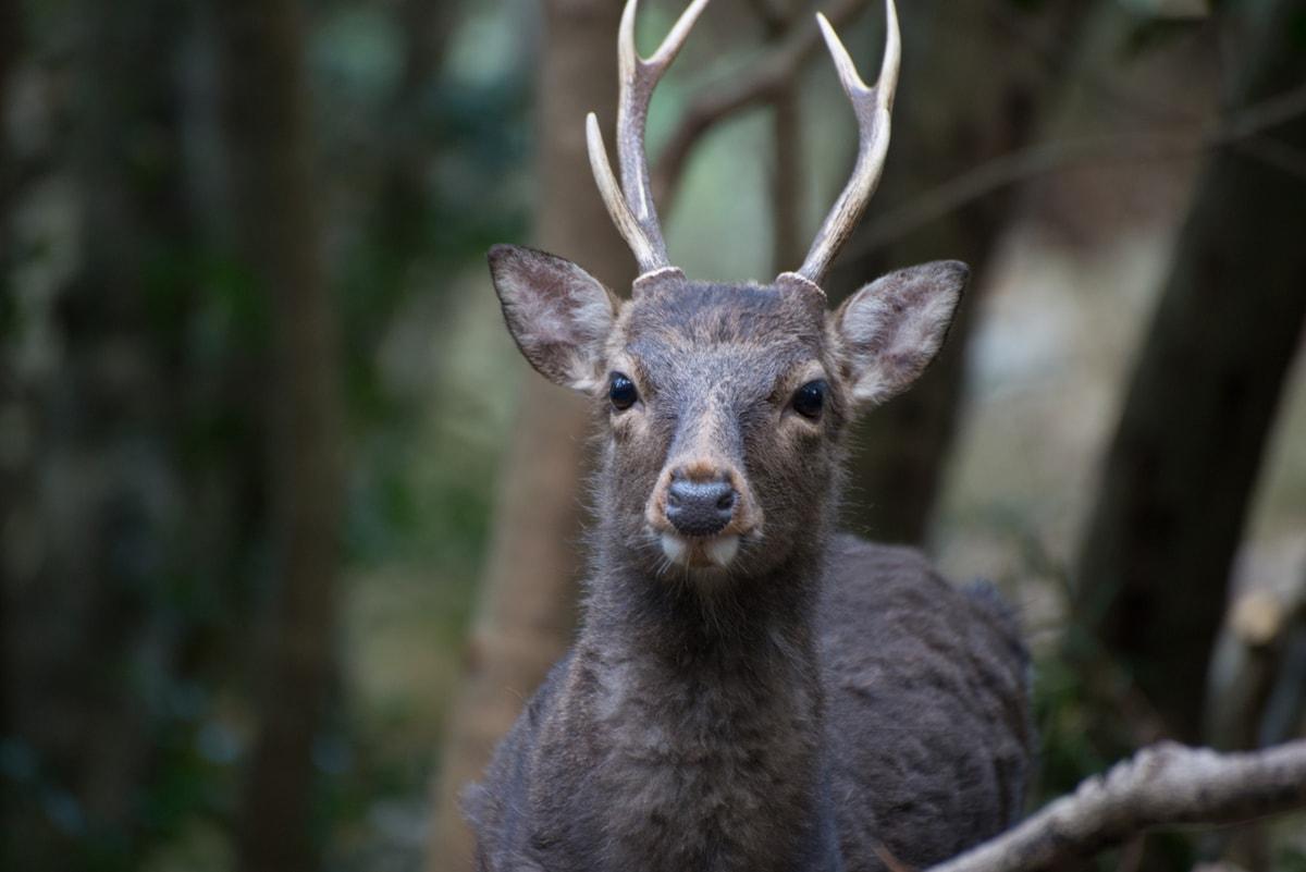 Yaku-Deer